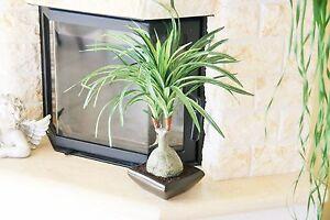 Details zu 46 cm Bonsai Elefantenfuss Dracena Dracaenapalme Drachenbaum  Kunstpflanze Deko