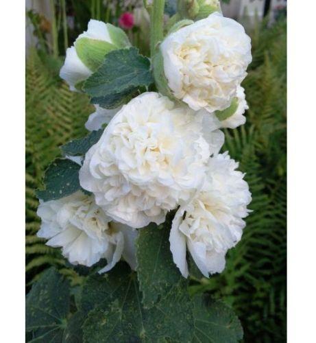 Alcea Rosea Bianca Double 12 Semi di Rosa Tremiere Bianca Double X61 Seeds