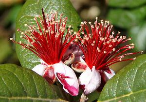 Acca-sellowiana-Feijoa-Brasilanische-Ananasguave-20-Samen