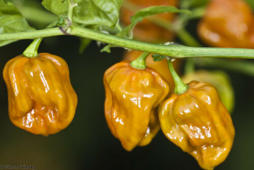 HOT CHILLI PEPPER 10 SEEDS HABANERO MUSTARD EXTREMELY HOT!