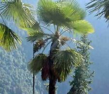 Trachycarpus takil Kumaon Palm 10 seeds