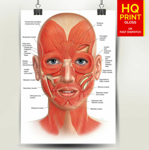 FACE ANATOMY MUSCLES VEINS Detailed Chart Science Poster Print *LAMINATION*