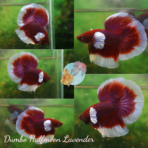 *Lavender Elephant Ear Halfmoon* - Live Halfmoon Male Betta Fish Premium Quality