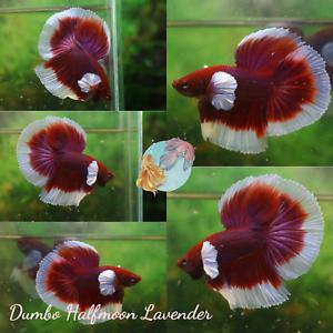 *Lavender Elephant Ear Halfmoon* - Live Halfmoon Male Betta Fish Premium Quality