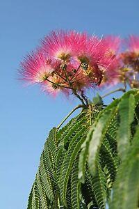 Garten-Pflanzen-Samen-winterharte-Zierpflanze-Saatgut-Baum-SCHLAFBAUM-SEIDENBAUM
