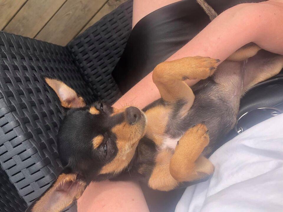 Chihuahua/dværgpinscher , hund, 7 mdr.