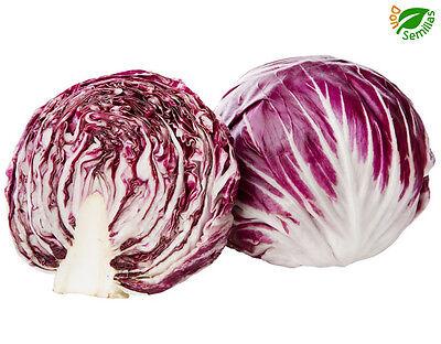 Cichorium Intybus-achicoria 1000 las semillas frescas