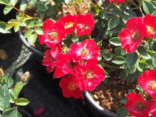 Bodendeckerrose Kleinstrauchrose Rosa /'Bassino/'® wurzelecht im 1 Liter Container
