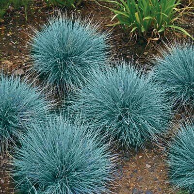 Blue Fescue Seeds, Ornamental Grass Seeds, Bulk Seed, Beautiful Blue-Green 500ct