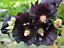 Seeds-Hollyhock-Mallow-Nigra-Black-Giant-Flower-Perennial-Garden-Cut-Ukraine thumbnail 9
