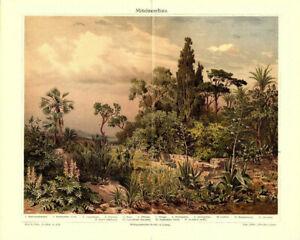 Lithographie-Mittelmeerflora-Original-1904-Bild-Illustration-Macchie-Korsika