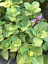 thumbnail 2 - SALE-Scaredy-cat-plant-coleus-canina-Keep-cats-out-of-your-yard-three-cuttings