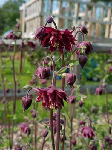Ruby Port Columbine *FRESH* Attracts butterflies Spring Bloomer 100 seeds