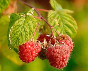 ORGANIC RED RASPBERRY SEEDS Sweet HEIRLOOM High Yeild Berry Rubus Idaeus 50