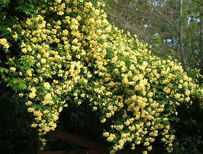 CASINO  - FRAGRANT CLIMBING  ROSE -  LONG FLOWERING BARE ROOTED PLANT
