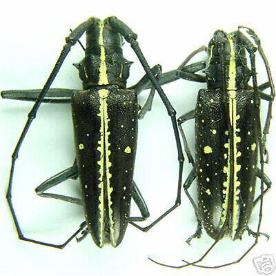 Madagascar Insect Pair 20mm+ ....!! ATTELABIDAE Trachelophorus giraffa