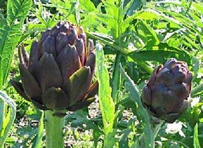 Artichoke Seeds 50 Purple Italian Artichoke Seeds
