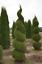 EMERALD-GREEN-Arborvitae-3-034-pot-Thuja-occidentalis thumbnail 3