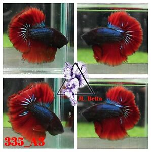 [335_A3]Live Betta Fish High Quality Male Fancy Over Halfmoon 📸Video Included📸
