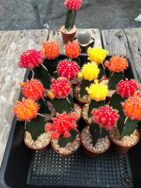 1 Plant Cactus Colorfull Rare Succulent Gymnocalycium Red Pink Yellow Decorate