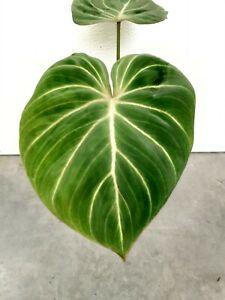 Philodendron gloriosum,aroi