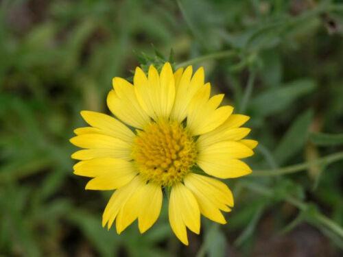 100 YELLOW GAILLARDIA Aristata Blanket Flower Seeds