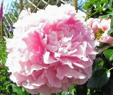"500 semi-Peonia Poppy ""Pallido Rosa' - Papaver somniferum Peonia Rosa pallido"