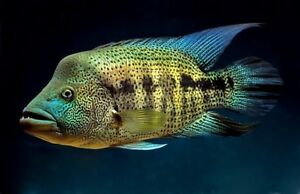 6 Six X Parachromis Dovii Guapote Or Wolf Cichlid Ebay