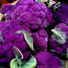 Purple Broccoli Seeds, Purple Sprouting Broccoli, Heirloom Non-Gmo Seeds, 100ct