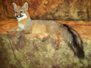 Gorgeous-Grey-Fox-Mantle-Mount-Taxidermy-Texas-Hunt-Deer-Traps-Antlers-Log-Cabin