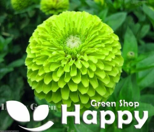 ZINNIA DAHLIA LIME GREEN ENVY 360 SEEDS Zinnia elegans dahlia flowered