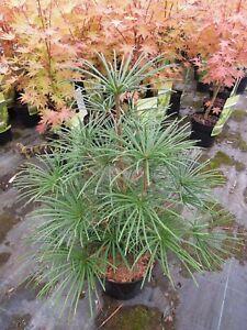 Sciadopitys-verticillata-japanische-Schirmtanne-70cm
