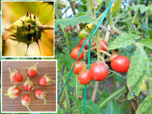 Die beste Tomate der Welt ✿ Litschi-Tomate Solanum sisymbriifoium ✿ Saatgut ✿