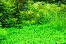 Aquarium Water Grass Seeds (50 seeds) / Random Aquatic Plant Grass Seeds