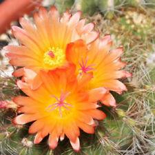 Parodia horstii notocactus @J@ exotic cacti rare flowering cactus seed 100 SEEDS