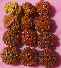 Premium Quality 100% Natural 2,3,4,5,6,7 Mukhi / Face (12 pieces ) rudraksha