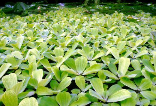 pistia   lot x 6 plante  flottante bassin aquarium refuge alevin