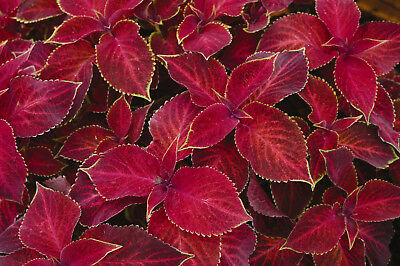 25 Coleus Volcano Shade Loving Indoor Plant Annual Perennial