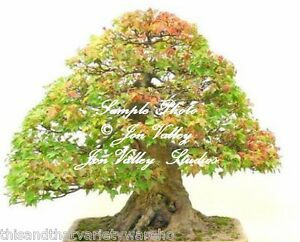 Acer Buergerianum Semillas Tridente Arce árbol Bonsai Estándar
