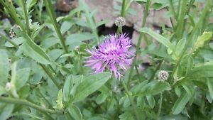 Greater-Knapweed-matured-2-3-years-in-large-4L-pot-Pick-up-only-Cardiff