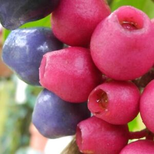 Rare, unusual Medinilla balls-headleyi! - Ornamental pink fruit! - Fresh seeds