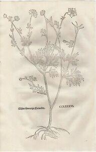 FUCHS  1543 Antique Woodcut Print - BLACK CORIANDER Botanical Herbal *VERY RARE*