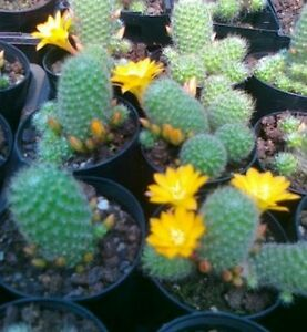 REBUTIA-PULVINOSA-Yellow-Flowering-Cactus-Species
