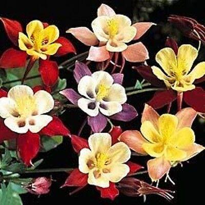 50 MCKANAS GIANT COLUMBINE MIX Aquilegia Flower Seeds