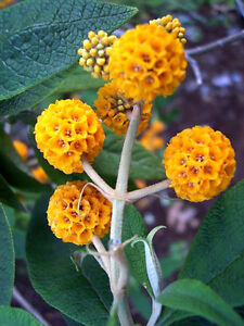 10-ORANGE-BALL-TREE-GOLDEN-BUTTERFLY-BUSH-Buddleja-Globosa-Shrub-Flower-Seeds