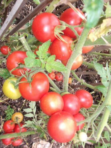 TOMATO MONEYMAKER  50 SEEDS  - UK SELLER