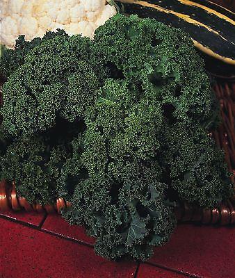 Verstandig Vegetable - Borecole - Dwarf Green Curled - 600 Seeds - Economy Volume Groot