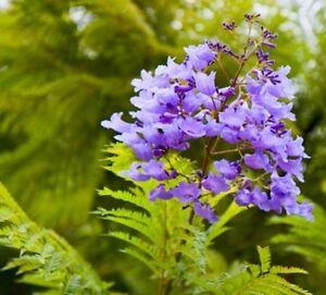 Palisanderholzbaum  75 Samen Palisanderholzbaum (Jacaranda mimosifolia) tolle Blüten ...