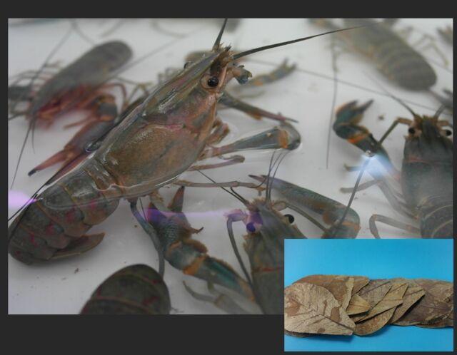 20 Catappa Leaf Litter For Live Poison Dart Frog Turtle Crayfish