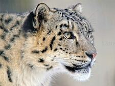 3479 Animal Poster Picture Poster Print Art A0 A1 A2 A3 A4 THE SNOW LEOPARD